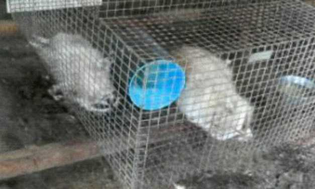 SIGN: Justice for Raccoons Drooling from 100-Degree Heat at Cruel Fur Farm