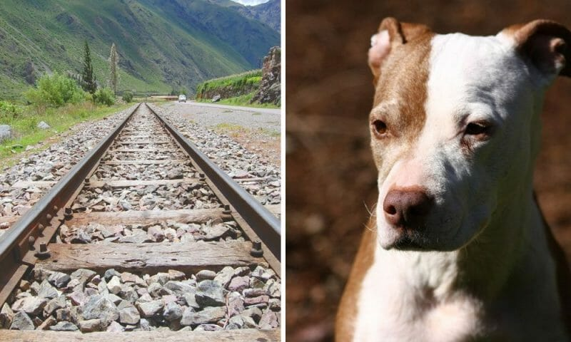 SIGN: Justice for Pit Bull Tied to Railroad Tracks and Left to Die