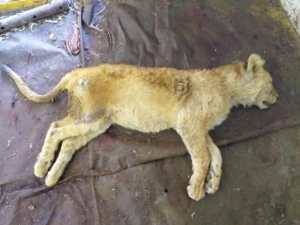 Dead lion cub found at SA farm