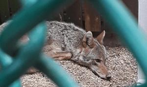 Luna the coyote