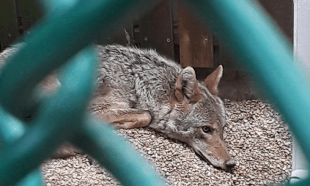 SIGN: Bring Luna the Rescue Coyote Home from Hellish Imprisonment