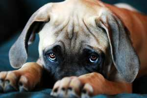 Dog with puppy eyes