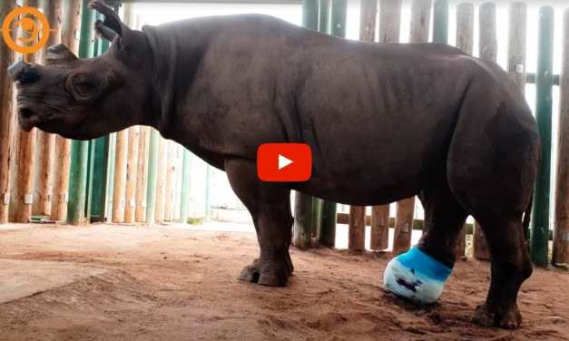 VIDEO: Rhino Shot by Poachers and Left to Die Gets New Cast to Help Her Heal