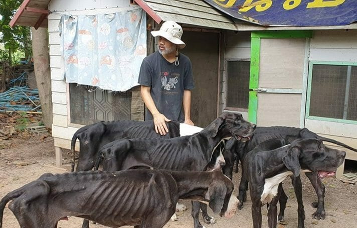 King of Thailand Adopts 13 Emaciated Great Danes Rescued from Cruel Breeder