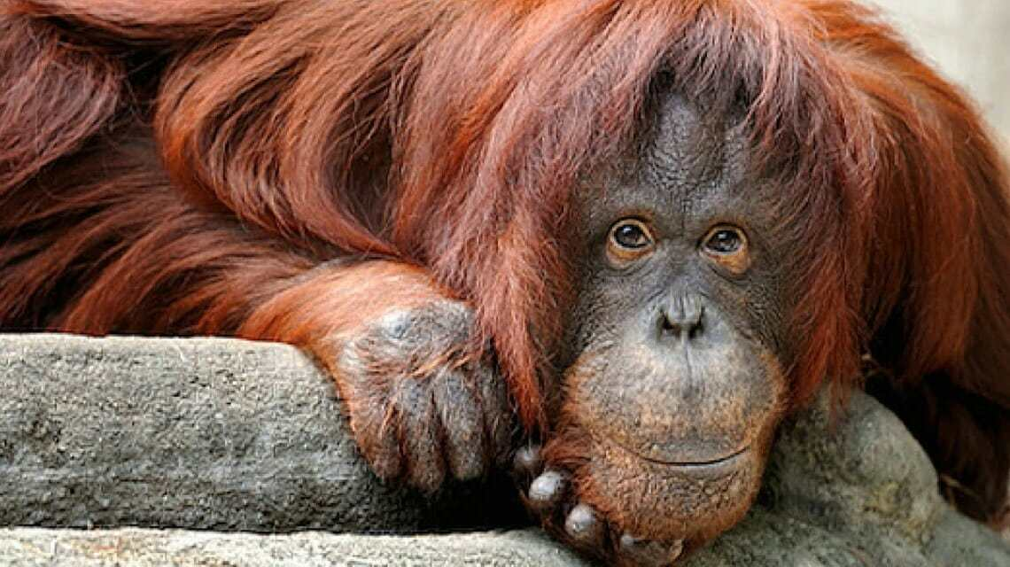 Sandra, Orangutan Granted 'Non-Human Personhood,' Is Finally Going To A Sanctuary