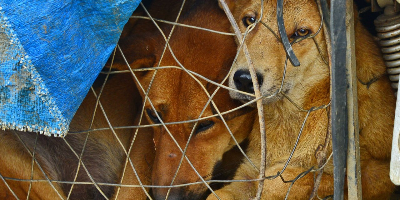 SIGN: Stop Vietnam's Horrific Dog And Cat Meat Trade
