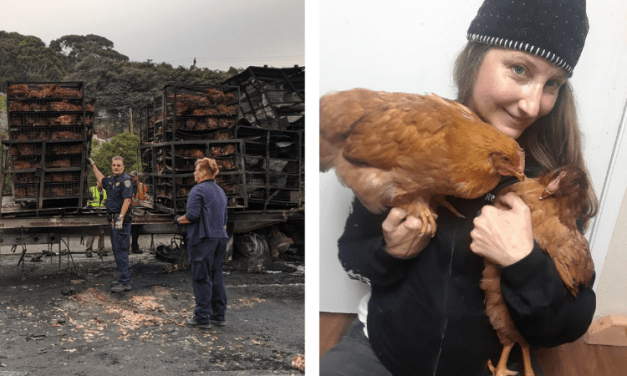 Animal Activists Rescue Chickens from Fiery Truck Crash on California Highway