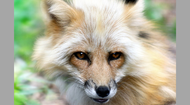 Update: California Becomes the First State in the US to Ban Trapping Animals for Fur