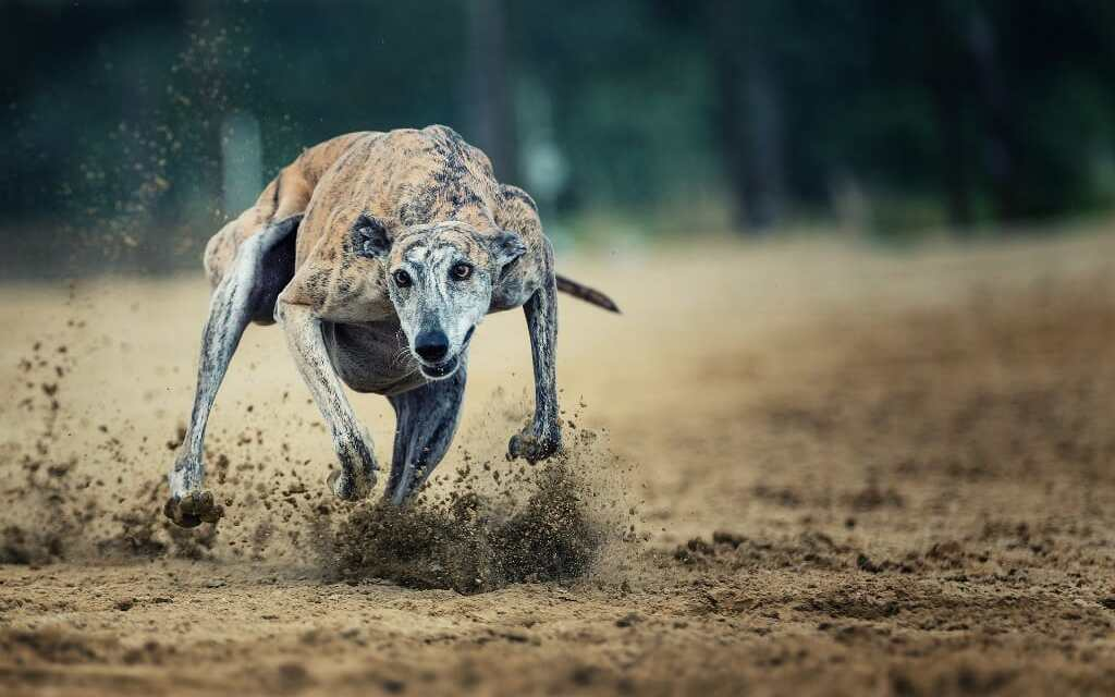 SIGN: Ban Cruel Greyhound Races Where Cocaine-Drugged Dogs Are Run to Death