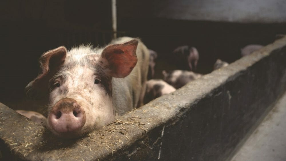 USDA Slashes Protections for Pigs, Workers and Consumers with Devastating New Swine Slaughter Rule