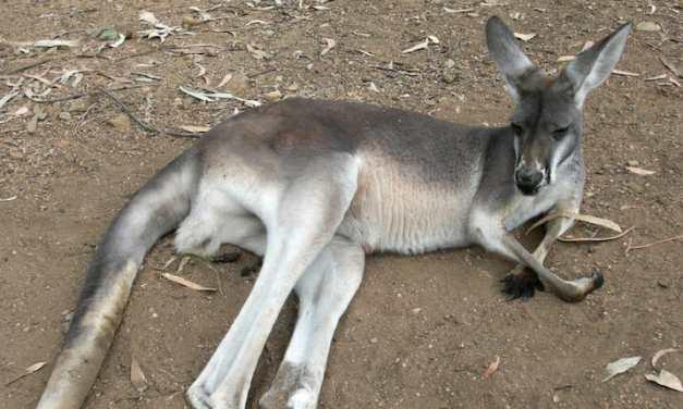 PETITION: Justice for 20 Kangaroos Run Over in Sadistic Killing Spree