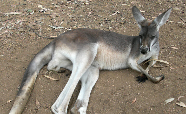 PETITION: Justice for 20 Kangaroos Run Over in Sadistic Killing Spree