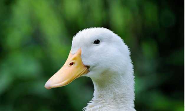 Victory for Ducks and Geese! NYC Votes to Ban Foie Gras