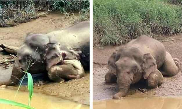 SIGN: Justice for Pygmy Elephant Shot 70 Times, Tusks Hacked Off