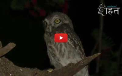 VIDEO: Adorable Orphaned Owlet Adopted by New Owl Family