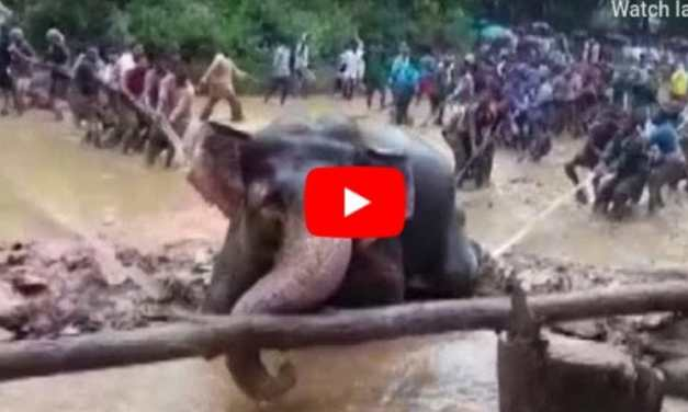 VIDEO: Village Bands Together to Save Elephant Stranded in Swampy Well