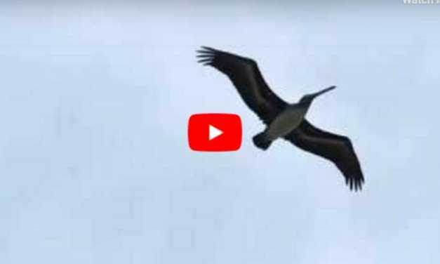 VIDEO: Pelicans Saved from Hurricane Fly Back to Freedom