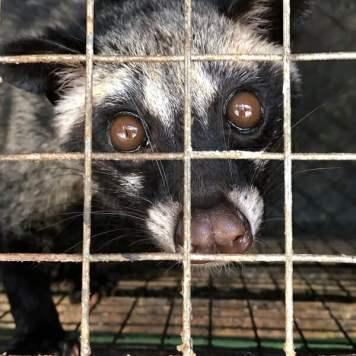 Caged civet on farm