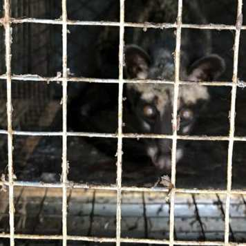 Filthy civet cage on farm