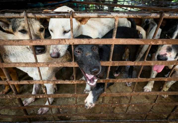 dogs crammed into cages in the dog meat trade
