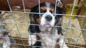 King Charles Cavalier behind bars