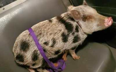Cute pig in car