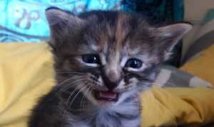 crying kitten