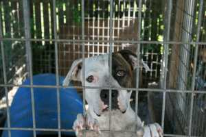 caged pitbull