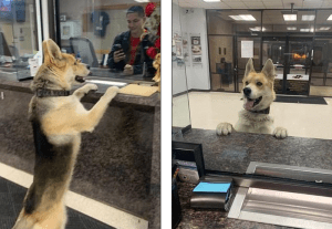 German Shepherd at police station