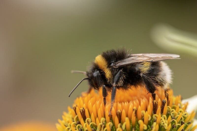 Nearly 1 in 3 Bumblebees Have Disappeared from Europe and North America, Study Finds