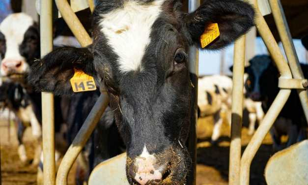 Cows Communicate and Express Emotion Through Moos, Study Finds