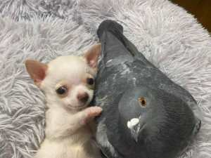 Dog Who Can't Walk Bonds with Pigeon Who Can't Fly at Animal Rescue Center