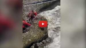 VIDEO: Beaver Stranded on Ledge Saved from Raging River