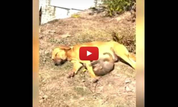 VIDEO: Pregnant Dog Takes Care of Baby Monkey After Someone Poisoned His Parents