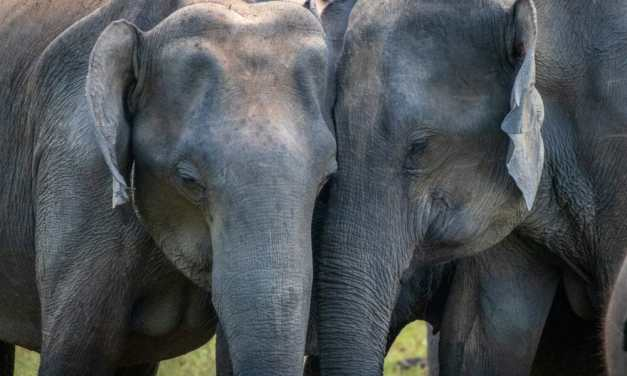 Dozens of Elephants Enjoy First Day Without Wooden Carriages Strapped to Their Backs