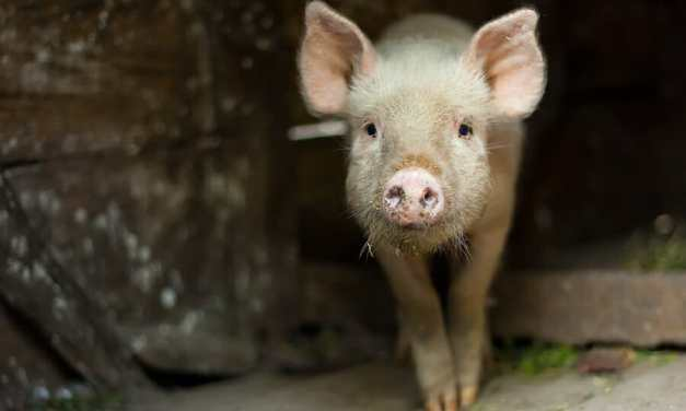 SIGN: Justice for Pig Tied Up and Beaten with Broom Handle