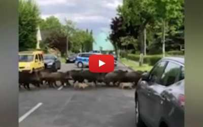 boars crossing road
