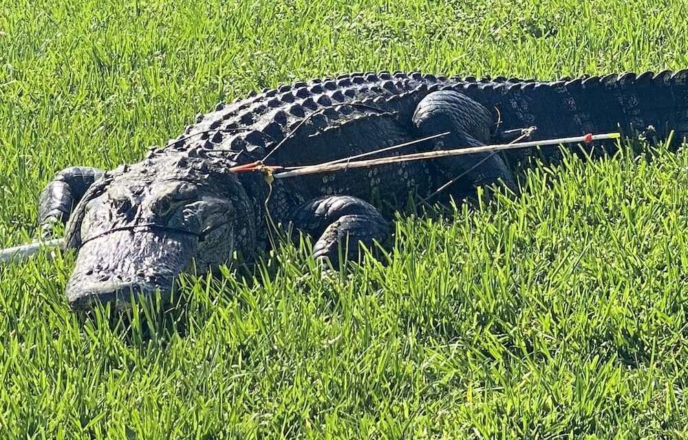 SIGN: Justice for Alligator Tied Up At the Snout and Shot With Arrows