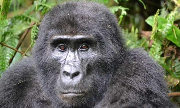 Leonardo DiCaprio Helps Raise $2 Million to Save Endangered Mountain Gorillas