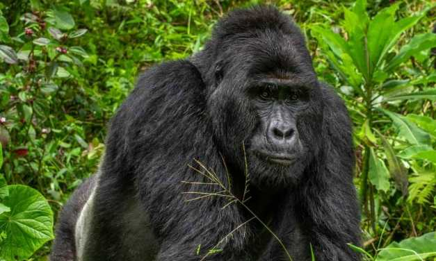 SIGN: Justice for Rafiki, Gorilla Stabbed to Death by Poachers