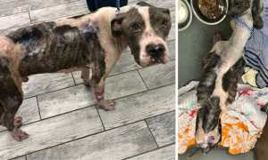 SIGN: Justice for Pit Bull Starved Within Hours of His Life
