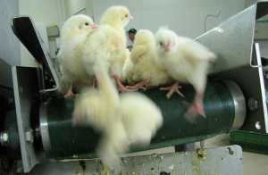 SIGN: End Brutal Chick 'Shredding' in the US