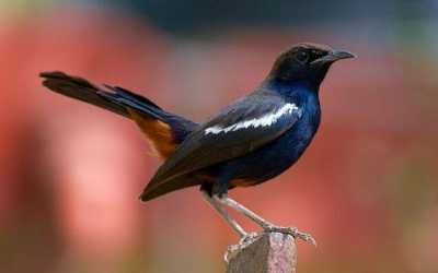common Indian robin