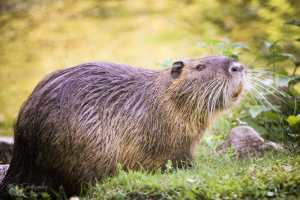 beaver in the wilderness