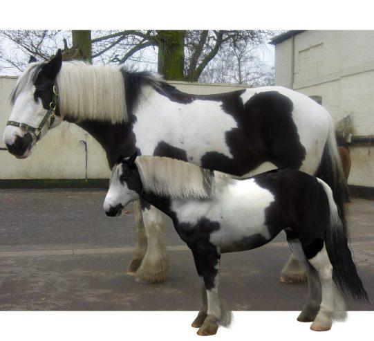 3d digital clone of friends gypsy cob horse using the Daz Millennium Horse 3d Model