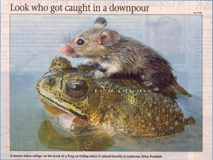 mouse riding on a frog, TOI photo