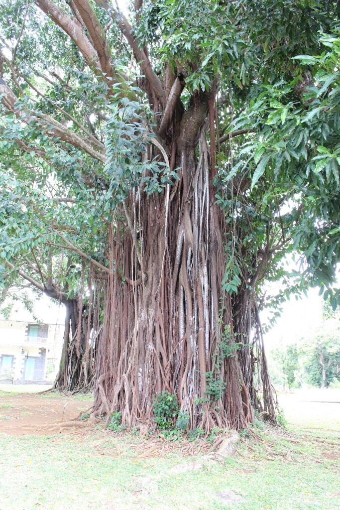 alt-nord-de-l'île-maurice-fleur-liane-arbre