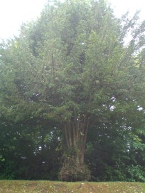 One of the Yew Trees at the top of Tomnahurich Hill
