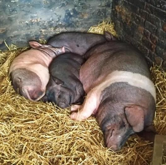 Pigs at Newgrange Farm