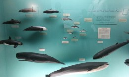 a small display of whales and their sizes